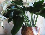 Эухарис (Амазонская лилия), луковичное растение